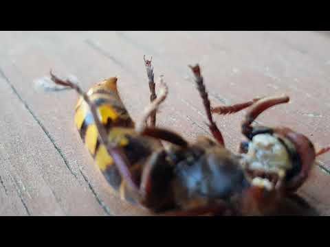 Japanese hornet with huge stinger