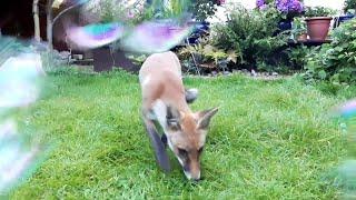 Fox and Bubbles || ViralHog