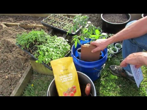 Planting Tomatoes in 5 Gallon Containers & Earth Beds Using Organic Fertilizer