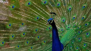 Image result for rain and peacock dance