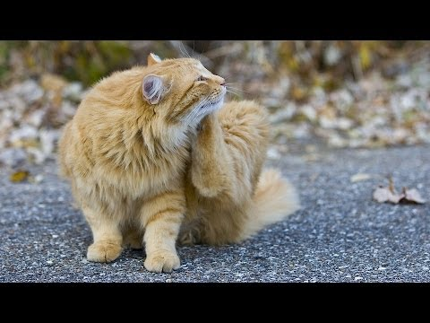 How to Treat a Cat with Fleas | Cat Care