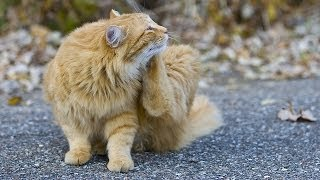 How To Treat A Cat With Fleas Cat Care