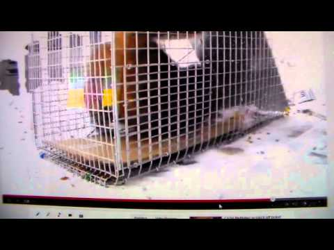 Feral cat turns out to be friendly Trap-Neuter-Return.