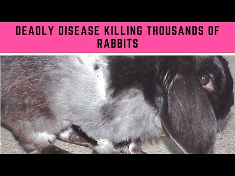Deadly Disease Killing Thousands Of Rabbits