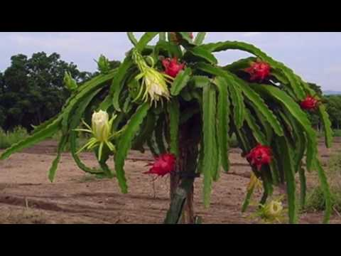 How to grow Dragon Fruit plant in your back yard TELUGU version 2 quick video