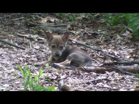 Five-Week-Old Red Wolf Pup Ponders