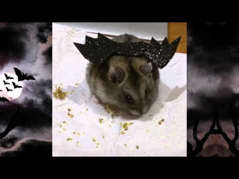 Adorable Hamster in Bat Costume!
