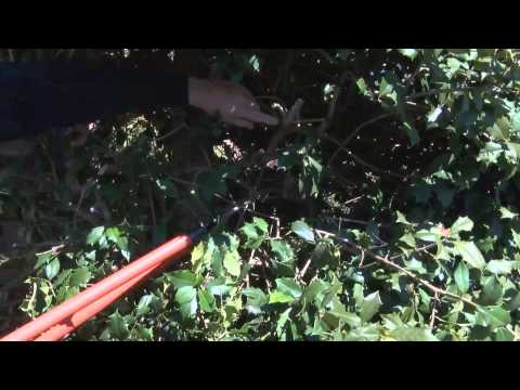 In the Garden - Pruning Holly Bushes