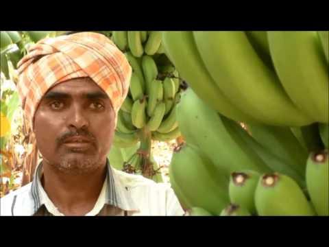 A Success Story in Natural Farming Method in Banana Culitvation_DoAG&DigitalGreen_Anantapur