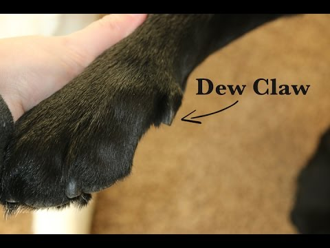 Breeder Insights: Why I Don't Remove Dew Claws
