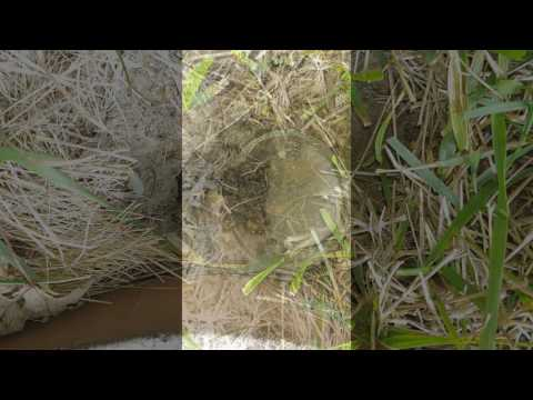 HOW TO kill yellow jacket bees nesting in the ground - 100% EFFECTIVE AND SIMPLE!