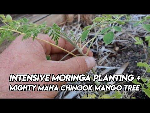 Ep165 - Intensive Moringa Planting Plus Mighty Maha Chinook Mango Tree