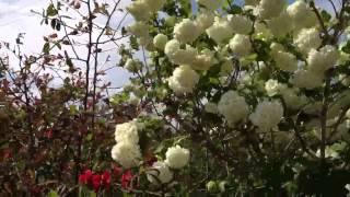 Pianta con fiori a forma di palla