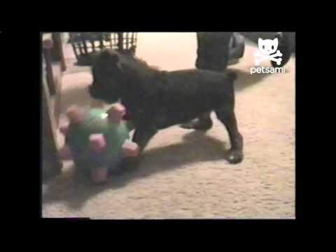 Dog Struggles With Vibrating Toy