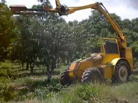 Mango trees pruning