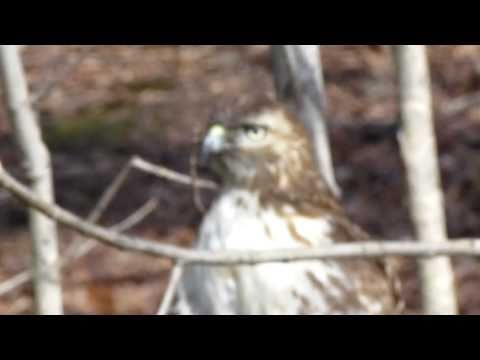 New York Botanical Garden Red-tailed Hawk Close-up