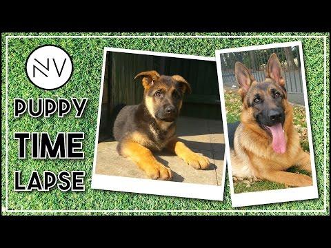 German Shepherd Puppy Growing Up (8 Weeks - 1 Year In 3 Minutes)   NerdVlog