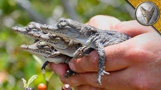 We Found Crocodile Hatchlings!