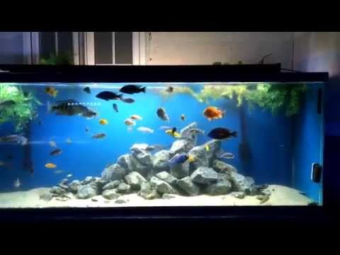 How to breed African cichlids and raise the fry