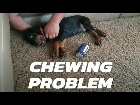 European Doberman Out of Control Chewing!!