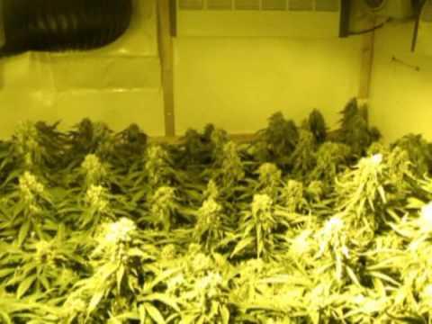 Growing Marijuana by Limbo following UPDATE WEEK 7 / www.limbo-co.com