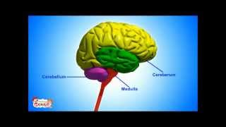The Nervous System Functions and Facts -Animation video