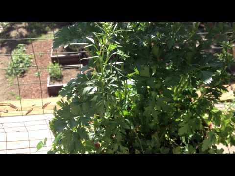 Advantage to Growing Parsley in Pots