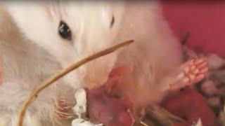 HAMSTERS - El parto del hámster. Nacimiento de las crías de hámster