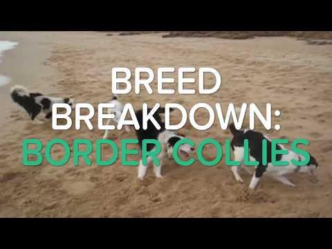 BREED BREAKOWN: BORDER COLLIES