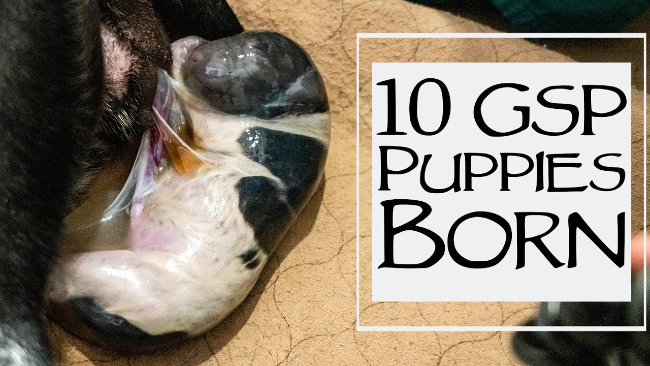 How To Whelp A Litter Of Puppies - 10 German Shorthair Born
