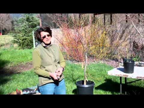 Pruning Japanese Maples with Tricia Smyth Part 1