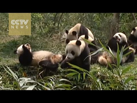 Being a panda nanny is hard