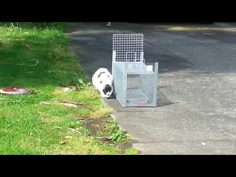 Trapping a very VERY pregnant cat!