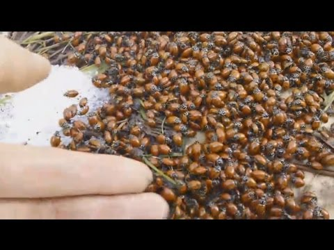 Thousands and Thousands of ladybugs HD