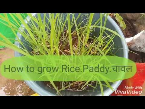 NO-87 How to grow Rice/Paddy/चावल in a container/pot easily in home (Hindi/Urdu) 8 August