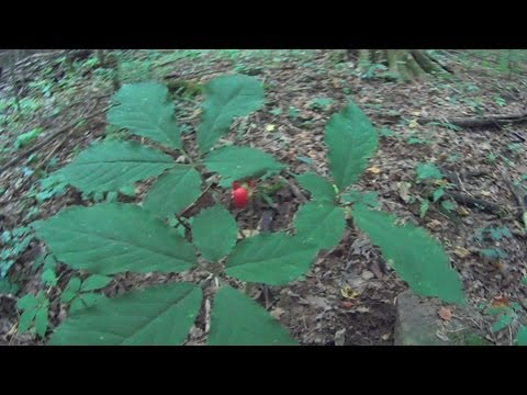 How to find Wild Ginseng plants and how to idendify them