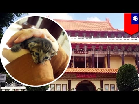Lost kitten will become temple cat after monks rescue it from inside the temple walls - TomoNews