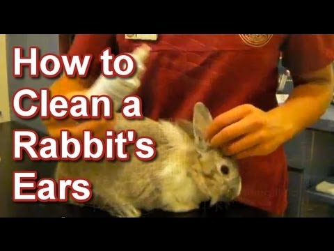 How to Clean a Rabbit's Ears - Tai Wai Small Animal & Exotic Veterinary Hospital