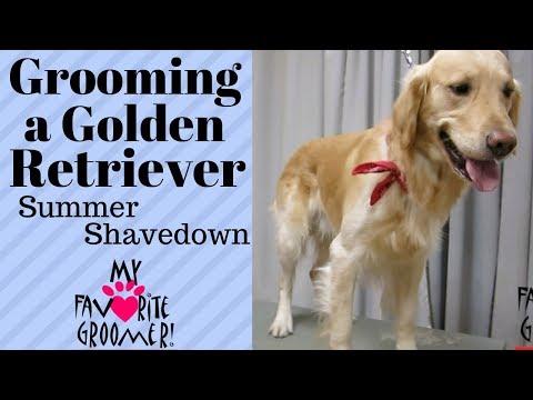 Grooming a Golden Retriever summer cut