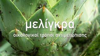 🌹 Μελίγκρα: 4 φυσικοί τρόποι αντιμετώπισης - Aphid Control: Get Rid of Aphids Naturally (Eng Subs)