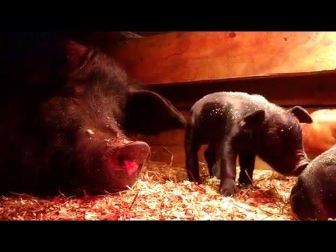 Heat lamp keeps piglets warm