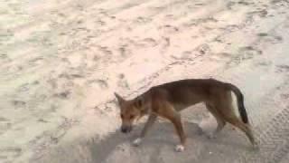Fraser Dingo 2012 second video