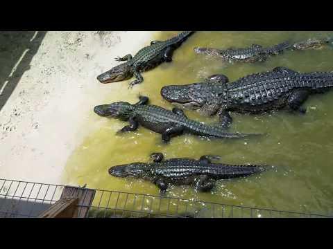 The Best Gator Rama Video Palm Dale Florida 2018