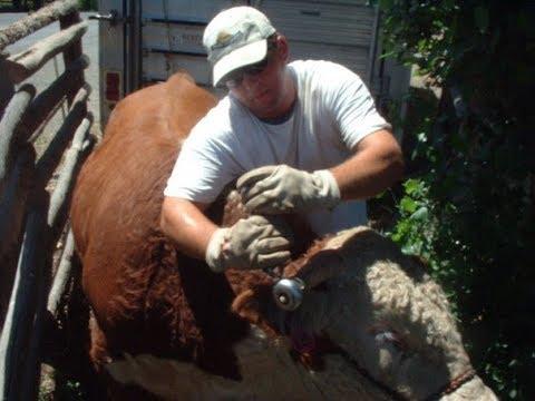 Hereford bull halter capture for horn weight work