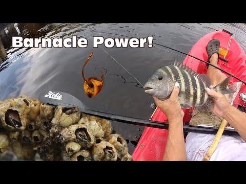 Using Barnacles as Bait: Sheepshead Fishing