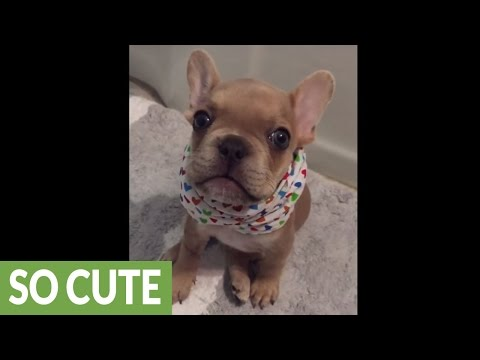 French Bulldog puppy repeatedly says