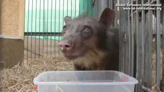 Cholita the bear takes her first steps to freedom!