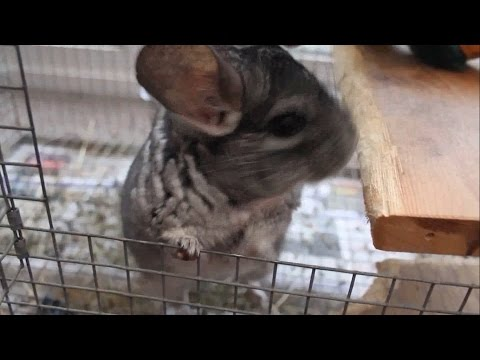How to Help a Grieving Chinchilla