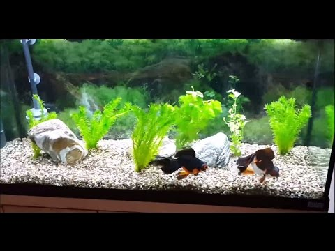 Goldfish Tank - 05-07-2016 - New Filter and tank clean