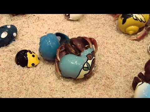 Hermit Crab changing shells